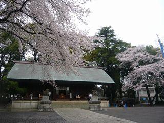 14_神社桜_4